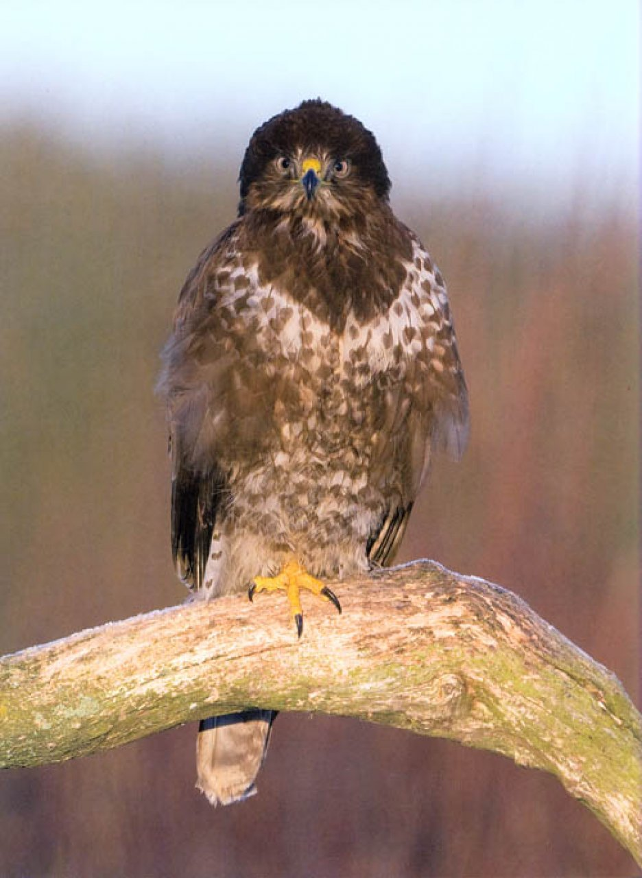 british birds of prey There are many birds of prey within the uk, ranging from small falcons to great eagles within these large british birds of prey exist raptors like the northern goshawk.